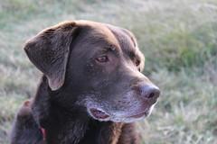 Rosie (ANDYM1958) Tags: chocolatelabrador mansbestfriend