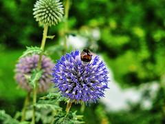 Bee and Dandelion (pajafar) Tags: beeanddandelion garden champdemars paris outdoor plants