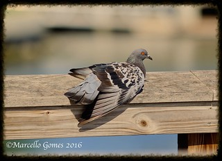 Rock Pigeon (Columba livia) ROPI... Went looking for a rare warbler and this is what I got:)