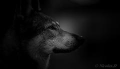 L'Insoumis (Pilouchy) Tags: linsoumis monochrome eyes lumiere regard free wild sauvage wolf wood legend noir conte story
