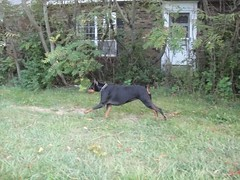 1474628151_2016_Sep_23_06-55-51_yardx783 (yclept8) Tags: doberman julie