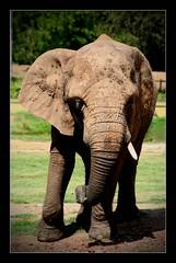 Tusk (Seeing Things My Way...) Tags: elephant pachyderm zoo africanelephant tusk animal fauna westernplainszoo tarongazoo dubbo nsw australia