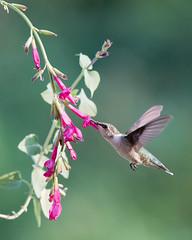 Sippin' Salvia (Jen St. Louis) Tags: flowers hummingbird salvia elmira ontario canada inflight rubythroatedhummingbird backyardbirding garden nikond750 nikon200500mm jenstlouisphotography wwwjenstlouisphotographycom