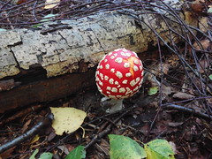 IMG_20160828_105847 (Alisa Jahary) Tags: forest mushroom mushrooms micology photo fly amanita agaric