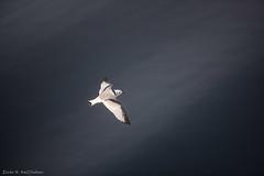 Bird over sea (Elvar H) Tags: arcticocean blackleggedkittiwake helmerhansen rissatridactyla siarctic iceedge krykkje rita
