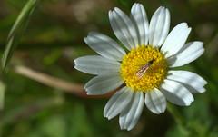 riflessi colorati (voyager7000) Tags: sardegna macro sardinia natura fiori prato insetti nuxis voyager7000