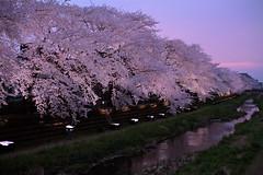中村桜 画像