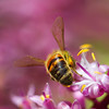 Bee Macro #1 (Tanya Puntti (SLR Photography Guide)) Tags: beemacro