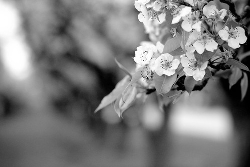Kieffer Pear blossoms 2