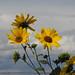 GreatSaltLake_flowers