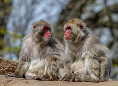 Hanging Out (Fenring) Tags: county animal canon japanese zoo milwaukee 7d macaque milwaukeezoo 100400
