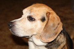 Ollie The Beagle - They named a piece of furniture after him -  LAZYBOY (fazer53) Tags: dog beagle dogs nature canon photography wildlife hound photographers northcarolina carolina asheboro randolphcounty archdale canonef2870f28l glenola canon2ti canoneoskissx4 fazer53