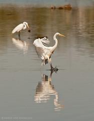 Great Egrets   135/P366 (KvonK) Tags: bird nature flying kitchener landing splash greategret fishig kvonk p366may