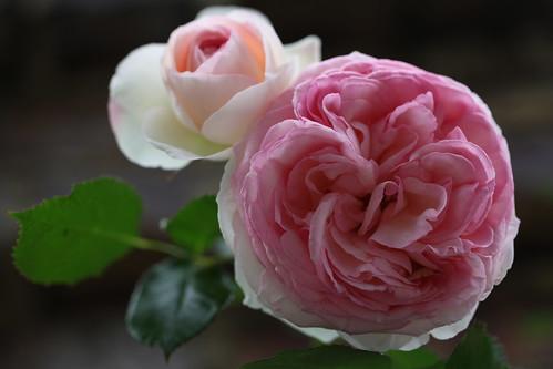 Rose-Pierre de Ronsard