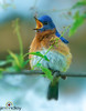 Psalms 104:12 By them shall the fowls of the heaven have their habitation, which sing among the branches. (JRIDLEY1) Tags: blue white tree happy wings brighton singing michigan ngc easternbluebird specanimal specanimalphotooftheday anawesomeshot wingedwonderselite panoramafotográfico jridley1 jimridley imagicland photocontesttnc12 photocontesttnc13