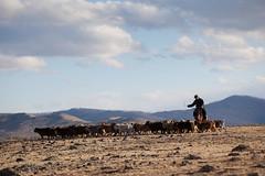 Cavalier nomade avec son troupeau (p.thiriet) Tags: moron cavalier asie animaux mouton steppe chevre mongolie troupeau elevage arhangai eleveur