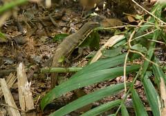 _DSC6475w (Adrian Royle) Tags: travel holiday macro nature forest nikon asia reptile wildlife monitor lizard sarawak malaysia borneo bakonationalpark
