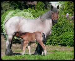 Belgian cold blood (jacobsfrank) Tags: horse flickr belgium belgie paard foal coldblood veulen koudbloed trekpaard frankjacobs nikond300s