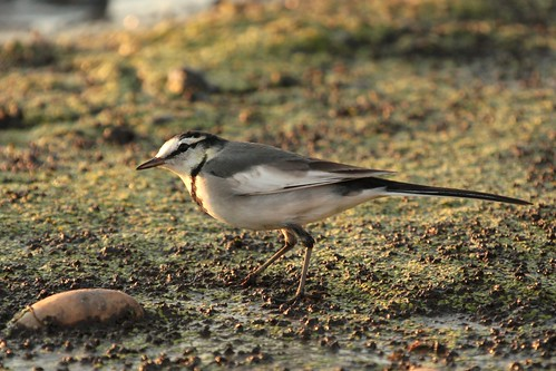 "Wagtail, White ""Black-backed"""