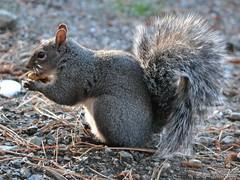 DSC_1995 w1024 (rjccski) Tags: white nature animal grey nikon squirrel critter wildlife gray dslr graysquirrel d3100