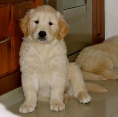 Mila (Vvillamil) Tags: dog pet dogs animal goldenretriever puppy golden puppies retriever perro perros cachorros dogphotography