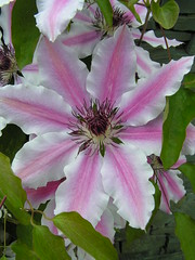 Clematis 'Nelly Moser' (FloraandFauna_2) Tags: park lake car inn district clematis glen ridding the