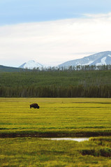 Lone Bison (JTs Mama) Tags: yellowstone bison