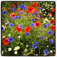 Red White & Blue (PhishFood) Tags: flowers sunset red square landscape hill lofi squareformat poppy poppies backlit hillside backlighting heartwoodforest iphoneography instagramapp uploaded:by=instagram
