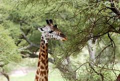 Tarangire_2012 05 28_1805 (HBarrison) Tags: africa hbarrison harveybarrison tauck tanzania tarangire tarangirenationalpark giraffe camelopardalis taxonomy:binomial=giraffacamelopardalis