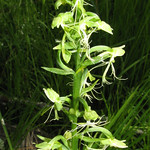 Ragged-fringed orchid thumbnail