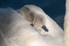 Cygnes..farniente et dolcevita (jd.echenard) Tags: love nature animal bett swan softness amour lit kindness relaxation schwan dolcevita tenderness cygnes tendresse plumes farniente sieste douceur chaleur endearment loveliness tenderling fragilit bienveillance swanlet