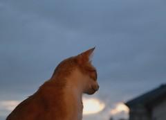 Ce que l'avenir nous rserve... (Machicouly) Tags: red cats window cat ventana ginger chats chat gatos gato fentre roux pasqua rubio