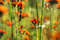 Orange Orton (Sionth) Tags: flowers orange home george weeds flora backyard bc prince pg wildflowers wildflower flickrchallengegroup flickrchallengewinner