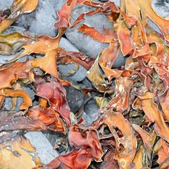 Seaweed (Gill'sphotos) Tags: orange seaweed iceland snfellsnes djpalnssandur