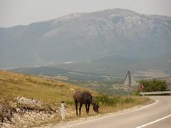 Livno Wild horses (3) (brian395) Tags: july wildhorses 2012 ramazan centralbosnia turbe bugojno 19thday livnohorses