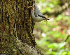 20120512_03 Eurasian nuthatch (Sitta europaea) bringing food to nest | Gothenburg, Sweden (ratexla) Tags: life trees wild favorite cute bird parenthood nature beautiful birds animal animals forest gteborg insect spring cool europe sweden earth wildlife gothenburg norden skandinavien insects skog sverige scandinavia biology ornithology animalplanet trd scandinavian sittaeuropaea 2012 goteborg zoology vr vren tellus fglar djur fgel organism nonhumananimals nordiccountries catchycolorsgreen eurasiannuthatch vilda vild ntvcka europaeuropean almostanything vitsippsdalen nonhumananimal cmwd cmwdgreen unlimitedphotos ratexla ntvckor photosbyjosefinestenudd photophotospicturepicturesimageimagesfotofotonbildbilder theeternityset canonpowershotsx40hs 12may2012