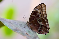 Serre aux papillons (m4mboo) Tags: macro papillon animaux insecte serre highqualityanimals