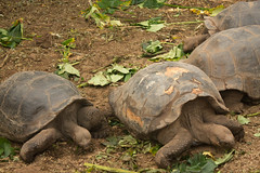 Giant Turtles Having Breakfast (BradPerkins) Tags: travel santacruz southamerica ecuador turtle galapagos tortuga galapagosislands giantturtles galapagosnationalpark charlesdarwincenter