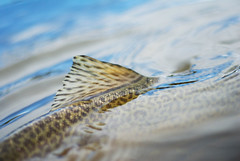 (cbstewart) Tags: fly fishing tiger flyfishing trout