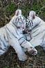 C006/6588 (fieryblaze) Tags: sleeping nature animal fauna cat mammal zoo cub feline affection sleep tiger cuddle rest resting asleep cuddling animalia mammalia tigercub nashvillezoo bengaltiger panthera pantheratigris felidae bengaltigers pantheratigristigris royalbengaltiger pantheratigrisbengalensis immaturetiger juveniletiger