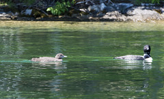 Mama and baby loon6 (rogue0075) Tags: bluesea cottage