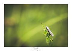 Le rgne du prince blanc (Naska Photographie) Tags: naska photographie photo photographe paysage proxy proxyphoto macro macrophotographie macrophoto papillon butterfly butterflie hyponomeute insectes extrieur nature sauvage vegetation