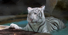 J77A7387 -- A White Tiger in the Secret Garden in Las Vegas (Nils Axel Braathen) Tags: tiger nature cat lasvegas usa