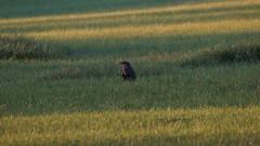 Portnoy the woodchuck (2 of 6) (krisknow) Tags: maine southchina wildlife woodchuck china unitedstates us