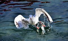 Au décollage (Diegojack) Tags: nikon nikonpassion d7200 léman lac morges vol mouettes arrêtsurimage instantané gouttes oiseaux