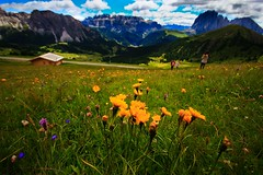 Flowers in Mount Seceda - Val Gardena  Dolomites Italy (Lior. L) Tags: flowers mount seceda val gardena dolomites italy mountseceda valgardena nature mountains flora floraandfauna landscape mountain colours colorful grass travel hiking clouds hike travelinitaly life sky dof wideangle ultrawideangle canon600d