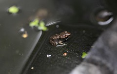 First Generation Froglet (defblow) Tags: froglet frogs tiny common european frog amphibian outdoor day rana nature cute critter bbc summerwatch