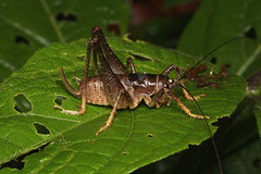 Orthoptera sp. - Costa Rica (Nick Dean1) Tags: orthoptera grasshopper katydid insect insecta animalia arthropoda arthropod hexapoda hexapod costarica lakearenal guanacaste