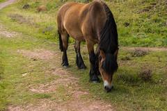 SLN_1606345 (zamon69) Tags: alun animal djur grass grs hill horse hst kulle residue slagghg tree trd