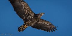 Immature Bald Eagle (pasquadaniel) Tags: birds eagles birdsofprey raptors animals mammals wings feathers talons flight juvenile american